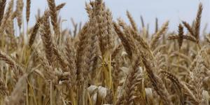 روسيا تضاعف رسوم صادرات القمح