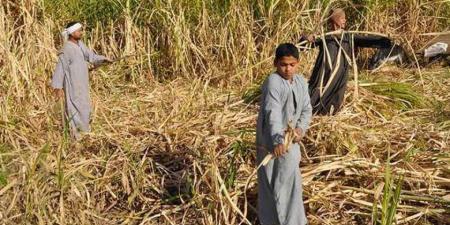 مصر: مصانع السكر تعمل بنصف طاقتها لنقص القصب